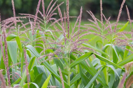 corn flower: Corn flower in the garden