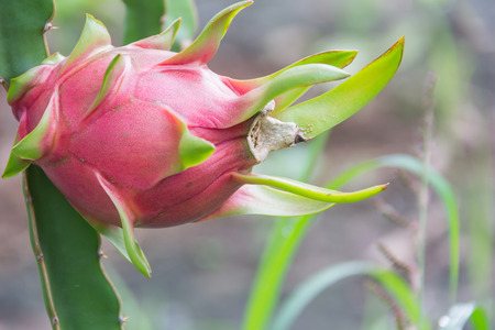 Dragon fruit,Pitaya on tree Stock Photo