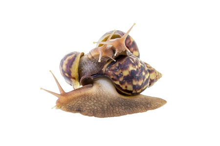 clam gardens: Land snail isolated on white background