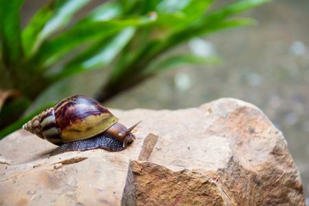 marrón caracol grande larga ronda concha con rayas y con cuernos largos que se arrastran en el borde de piedra de cerca