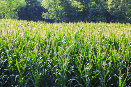 zea mays: Zea mays Linn. , Sweet corn in the field