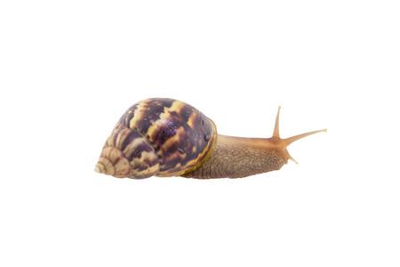 Land snail isolated on white background