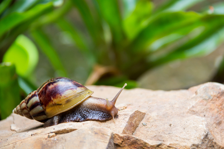 freshwater snails: brown long big snail round shell with stripes and with long horns crawling on the edge of stone closeup