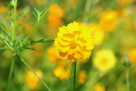 marigolds: Yellow Marigolds flower