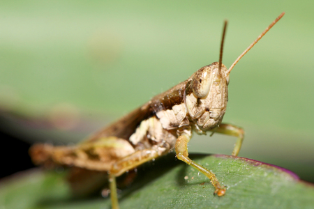 fruition: The image of a grasshopper on a leaf. Macro.