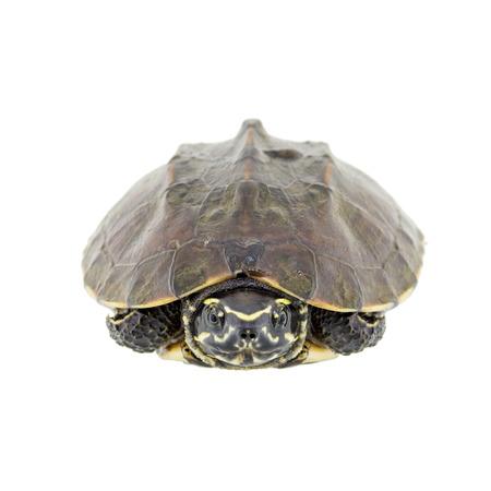 paciencia: Tortuga aislado en un fondo blanco