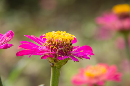 Zinnia flower in garden on background