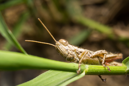 antennae: Grasshopper on nature leaves as background