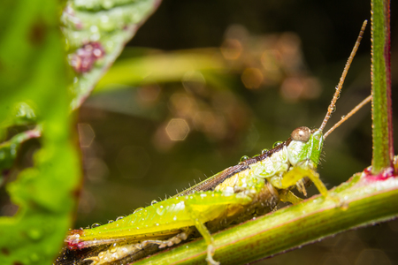 maleza: Grasshopper on nature leaves as background