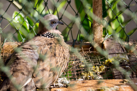 Doves in cages on old wooden  background