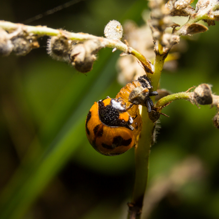 Ladybird with black spots on a green leaf as background Stock Photo