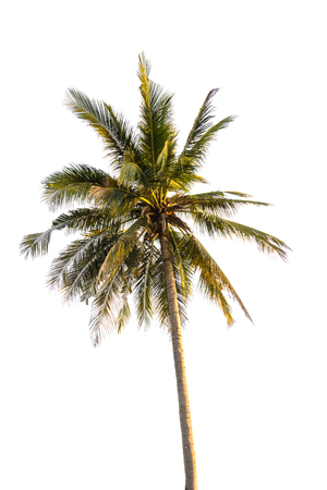 subtropical plants: Coconut tree isolated on white background Stock Photo