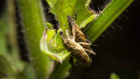 Weevil on nature leaves as background