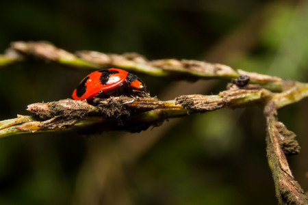 grass close up: Ladybird with black spots on a green leaf as background Stock Photo