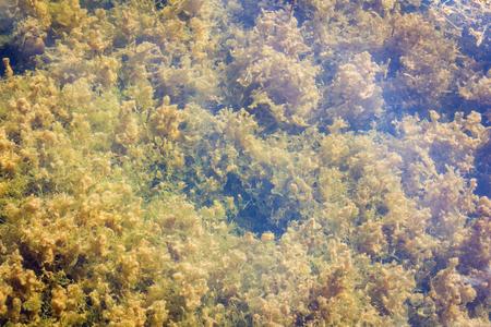 Freshwater algae in Thailand reservoir