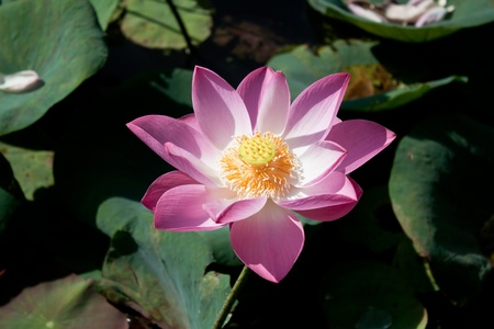 Lotus in the lake. Stock Photo - 10064539