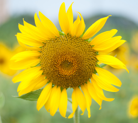sunflower , field of sunflower its look beautiful in the morning at bangkea thaoland