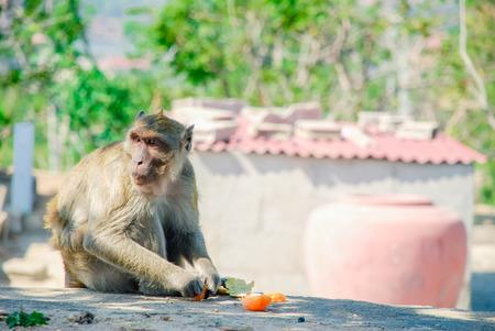 Portrait of a Monkey Eating an Orange , thailand