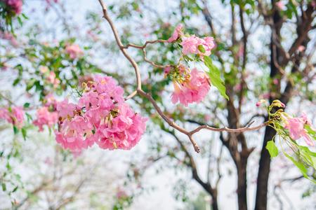 Pink flower Chompoo Pantip blossom in Thailand  , Thai sakura with sweet background , Background.