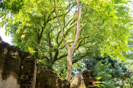 mighty old tree with green spring leaves at thaialnd