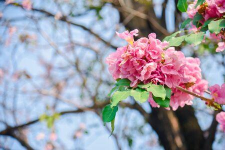Pink flower Chompoo Pantip blossom in Thailand  , Thai sakura with sweet background , Background