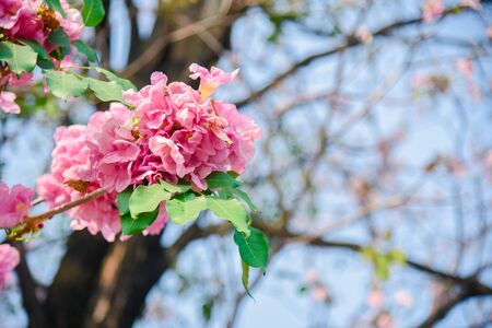 Pink flower Chompoo Pantip blossom in Thailand, Thai sakura with sweet background, Background Stockfoto