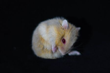 Hamster Cute Exotic Red-eyed Isolated on Black Background , Cute funny Syrian hamster , Pet health care.