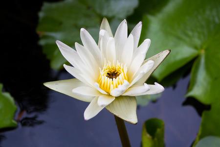 limbo: White lotus