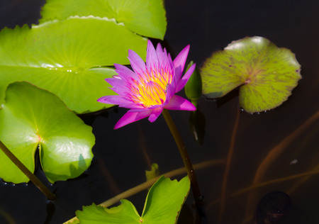 botan: Lotus in the lake.