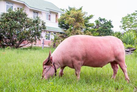 Pink buffalo feeding grass