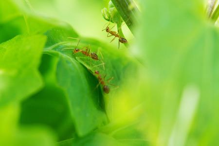 hormiga hoja: La hormiga en la hoja en el jard�n
