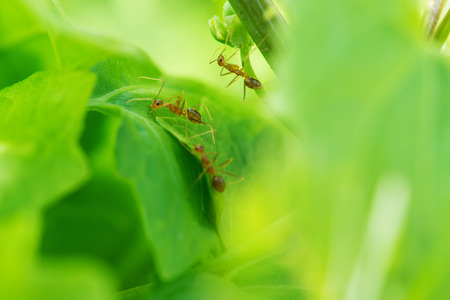 leaf cutter ant: The ant on leaf in garden Stock Photo