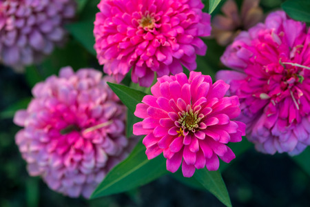 Close up aster autumn flower