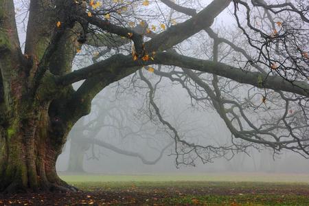 Old oak in fog. The massive oak tree in the park in a foggy day. Reklamní fotografie