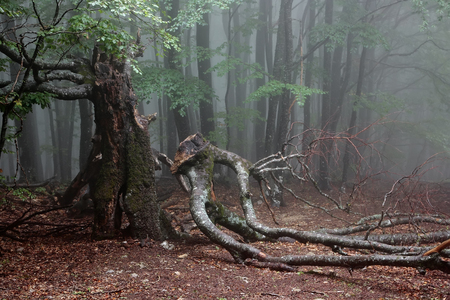 Old beech in the mountain forest in foggy day. Crimea.