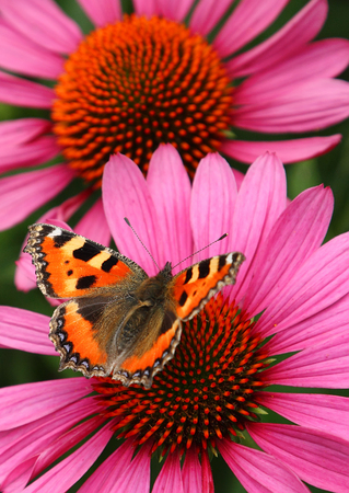 echinacea: Butterfly on a cornflower. Close up of butterfly on a pink echinacea purperea. Stock Photo