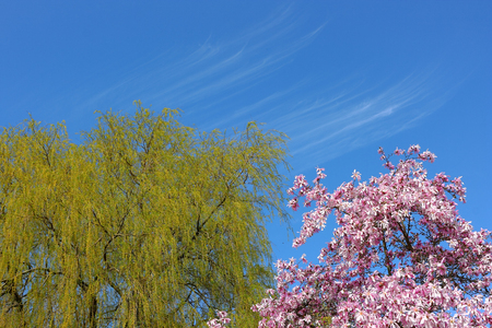 Spring trees blooming. Bright willow and sakura flowers on the blue spring sky of Botanical Garden. Stock Photo