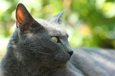 classy house: Gray cat. Elegant Russian Blue cat lies peacefully and looks into the distance on a sunny summer day.