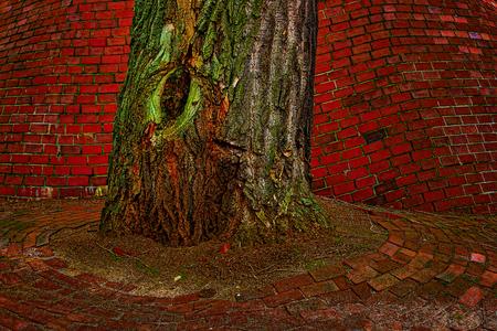 木の幹。赤レンガから歪められた壁に木の幹の詳細。 写真素材