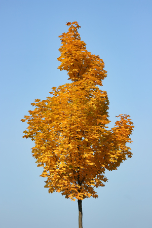 Autumn tree. Unusual shape of the crown of a young maple in a sunny autumn weather.