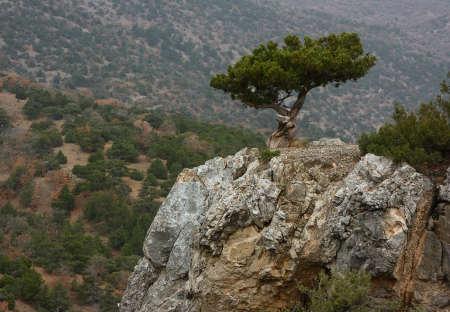Juniper tree on the rock in Crimea. Standard-Bild