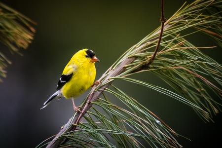 American Goldfinch Banco de Imagens