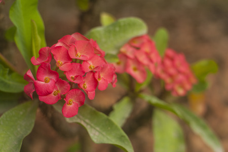 crown of thorns: Crown of thorns Red