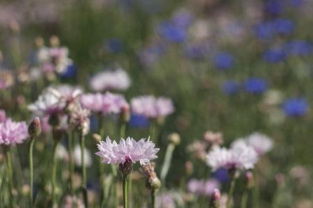 cornflower: Pink cornflower