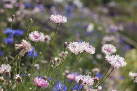 cornflower: Cornflower white