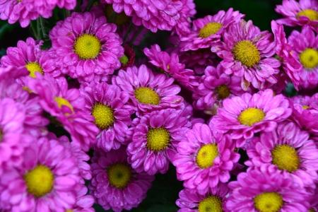 magenta flowers: Fresh magenta flowers