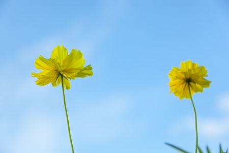 officinalis: Bright yellow marigold flowers in blue sky Stock Photo