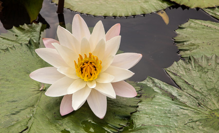 Beautiful single white lotus on a pond photo