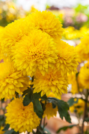 Bright yellow marigold flowers in the garden photo
