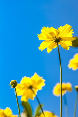 Yellow Cosmos flower and a blue sky photo
